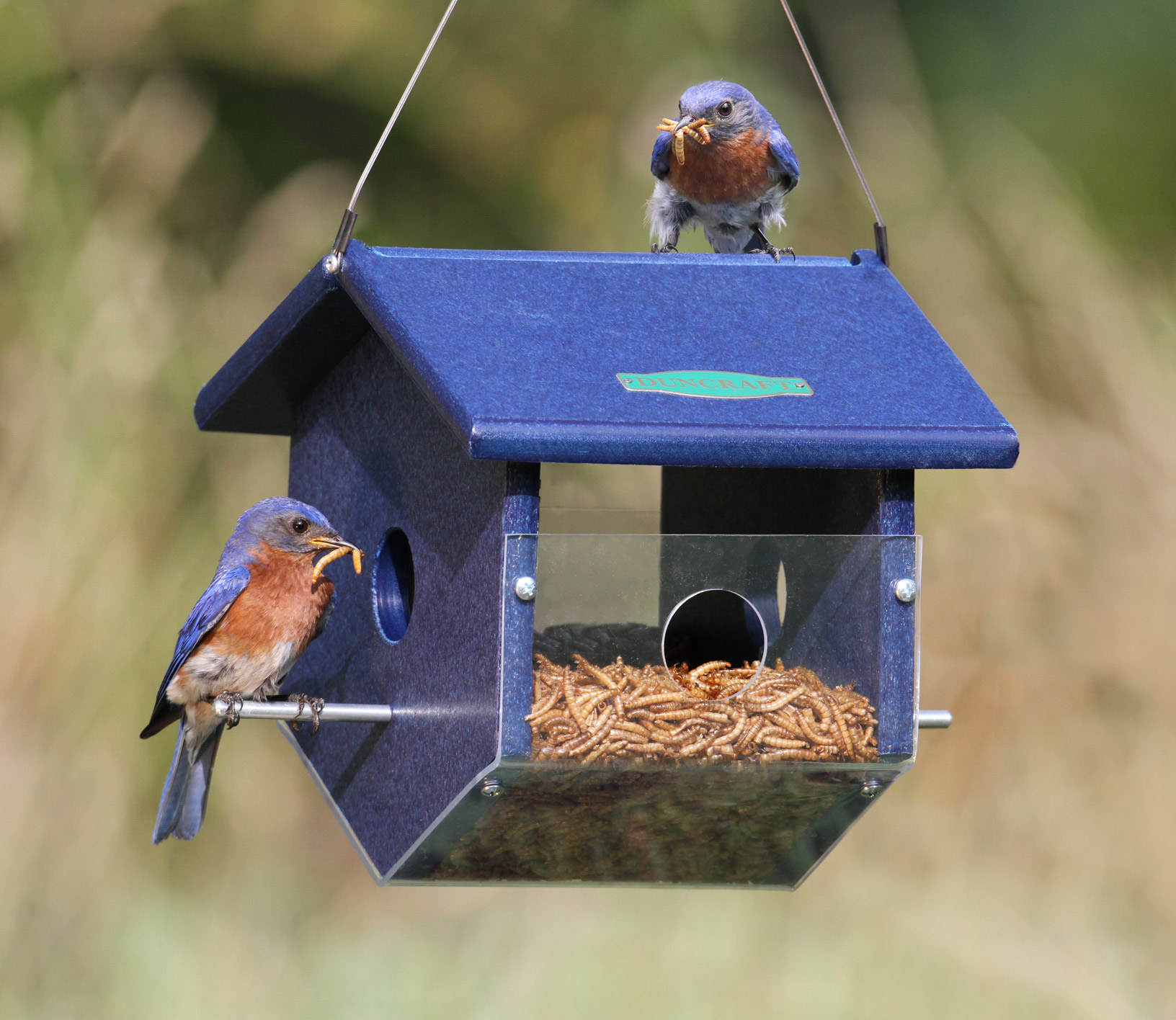 s a bird diemer by chatterer feeder jays for kathy feeders at the garden in all blue
