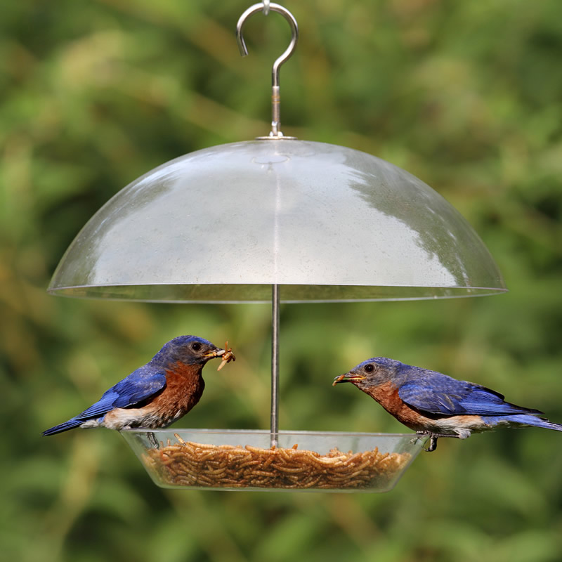 the mealworm nut bluebirdnut feeders feeder bluebird style