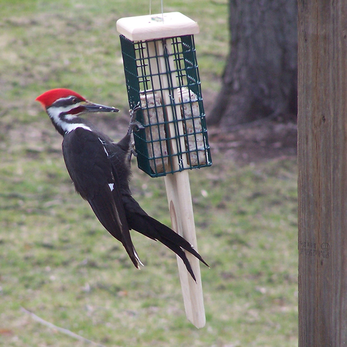 Duncraft Pileated Tail Prop Feeder