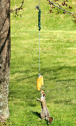 Bungee Jumping for Squirrels