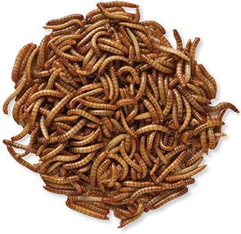 Live Meal Worms 10000