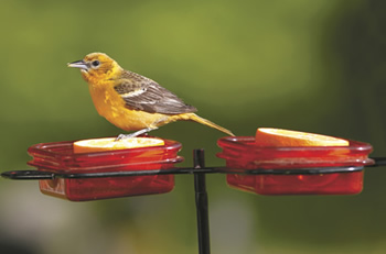 Oriole Dish Stake
