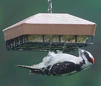 Roof Top Suet Feeder