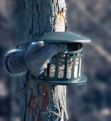 Squirrel Diner