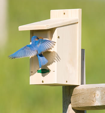 Bluebirds, Birdhouses and Nest boxes - Rick's Woodshop Creations