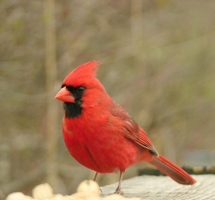 Cardinal Face Paint