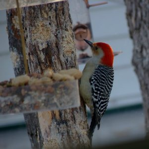 Quick Facts The Red Bellied Woodpecker Duncraft S Wild